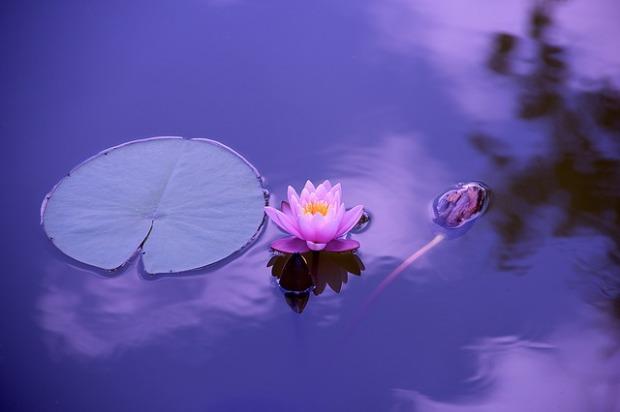 lotus-1205631_640