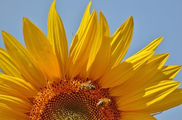 sun-flower-1533324_640